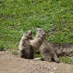 marmottes-3