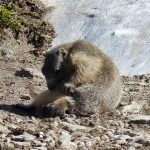 marmottes-7